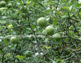 Extracto de Citrus Aurantium Fruit Metil Sinefrina HCl 6% -98%