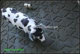 Stuoia della mucca, anti stuoia di slittamento, stuoia di gomma del bestiame, stuoia stabile