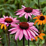 Выдержка Purpurea Echinacea естественного полифенола Choric кисловочная