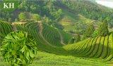 Estratto del tè verde di 95% EGCG