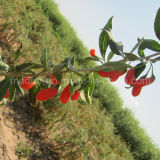 Vitamina de Wolfberry de la baya de Goji del níspero