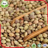 2016 урожая чечевиц GMO Non органических зеленых