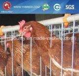 Cages directes de poulet de couche de modèle d'usine pour la ferme avicole