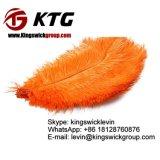 Venda por atacado de Kingsiwck a 16 '' 18 '' da luz tingida - penas cor-de-rosa da avestruz para a venda