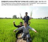 Riz plantant avec du bio engrais organique d'Unigrow