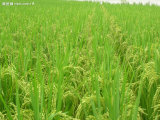 Organisches Landwirtschafts-Bor-Aminosäure-Chelate