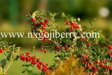 Ягоды Ningxia высушенные высоким качеством Goji (WolfBerry)
