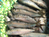 Qualité Frozen Seafood Fish Sardine pour Bait (aurita de Sardinella)