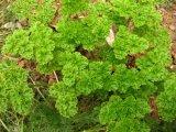 Fabrik-natürliches Petersilie-Auszug-Puder/Petroselinum Crispum