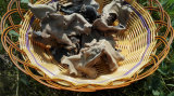 Getrockneter Nahrungsmittelweiß-Rückseiten-Schwarz-Pilz