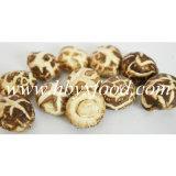 Abaixo de 2 cm de cogumelo Shiitake de flor branca seca
