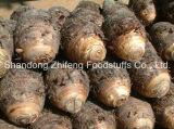 Taro fresco del nuovo raccolto organico