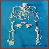 Scheletro umano pieno di Disarticulated, modello anatomico verniciato dei muscoli