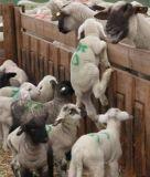 Spruzzo animale Colourful dell'indicatore, indicatore del bestiame