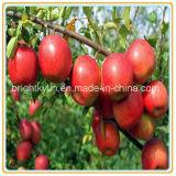 Esportazione delle mele inscatolate all'estero