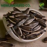 Les graines de tournesol 363 avec le meilleur prix de la torréfaction