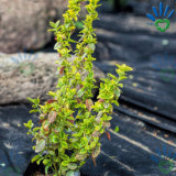 Prodotto non intessuto all'ingrosso di agricoltura pp della Cina di giardino del coperchio resistente UV della pianta