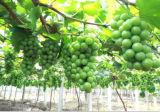 Polvo del aminoácido del fertilizante