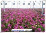 꽃을%s Hydroponic 시스템을%s 가진 공장 가격 PC 장 온실