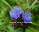 プラント草のベータEcdysteroneのエキスまたは結露の草のエキス