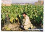 Planten van de tabak Behandeld met Organische Meststof Unigrow