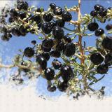 Alimento biologico Gojiberry nero secco rosso della nespola