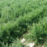 Ягода Goji эффективных трав мушмулы черная
