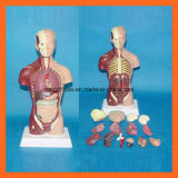 Modelo humano del torso de 28 cm con 15 porciones del modelo anatómico humano