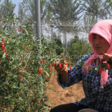 Níspero Wolfberry chino Ningxia Goji
