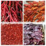 Paprika vermelha de Yunnan com haste