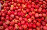 Nuevo Cultivo China Apple