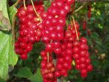 Natürlicher Schisandra chinensis Auszug Schisandrins Schisandra Beeren-Auszug