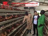 As aves domésticas automáticas populares mergulham sistemas das gaiolas/gaiola do ovo galinha do A