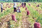 Neues Getreide gefrorene Paste des Knoblauch-2017 mit EU-Standard