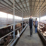 젖소와 밀크 카우를 위해 흘려지는 가벼운 강철