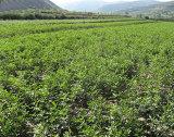 Additif alimentaire normal de Monoannonium Glycyrrhizate de CHROMATOGRAPHIE LIQUIDE SOUS HAUTE PRESSION de l'extrait 73% de réglisse