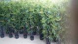 Migliori piante artificiali di vendita di bambù folto nero QS-A041s5-Z1008