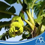 Sacchetto Jc-002 della banana del tubo del rullo