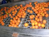 Máquina de classificação de frutas
