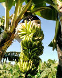 Sacs de banane d'Ordonnateur national Tecido de TNT Tecido