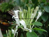 Adjust Immunity Chlorogenic Acid Honeysuckle Flower Extract