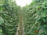 Fertilizante orgánico del polvo del aminoácido de la fuente