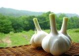 음식과 보충교재를 위한 마늘 추출