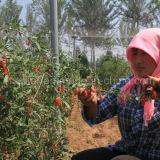 Baya roja de Goji de las hierbas eficaces del níspero