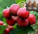 Extrait de baie d'aubépine de qualité avec des flavones pour le supplément de nourritures