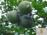 음식과 보충교재를 위한 쓴 오렌지 추출물 또는 미성숙한 쓴 오렌지 추출물