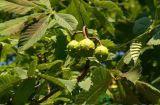 Rosskastanie-Auszug 20%-98%Aescin für Nahrungsmittelergänzungen