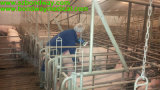 Ultrasound Ovine Machine para Imaging Sheep, Goat, Pig, etc. Bw570V