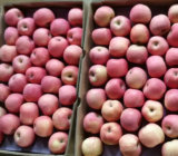 Frischer Apple in Good Quality
