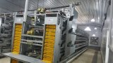 Chambre de contrôle de couche de poulet avec les cages automatiques d'ensemble complet